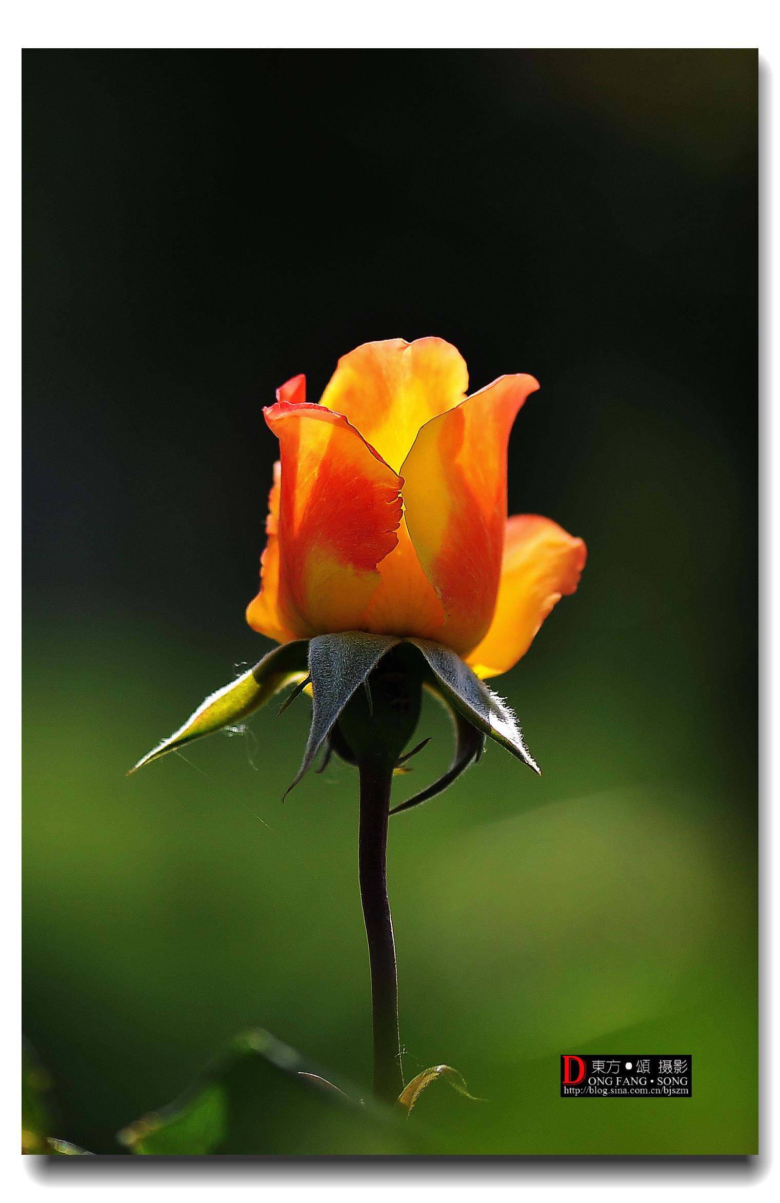 献花·祝贺美国中文网升级【東方·頌00014】_图1-2