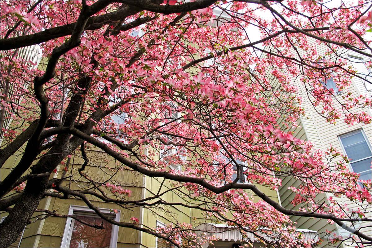 街头花树(G12)_图1-2