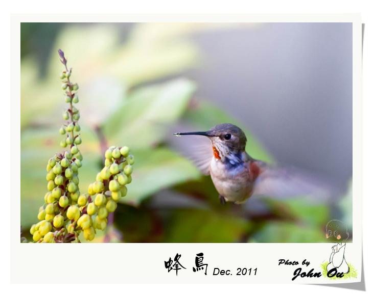蜂鸟_图1-1