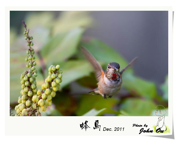 蜂鸟_图1-2