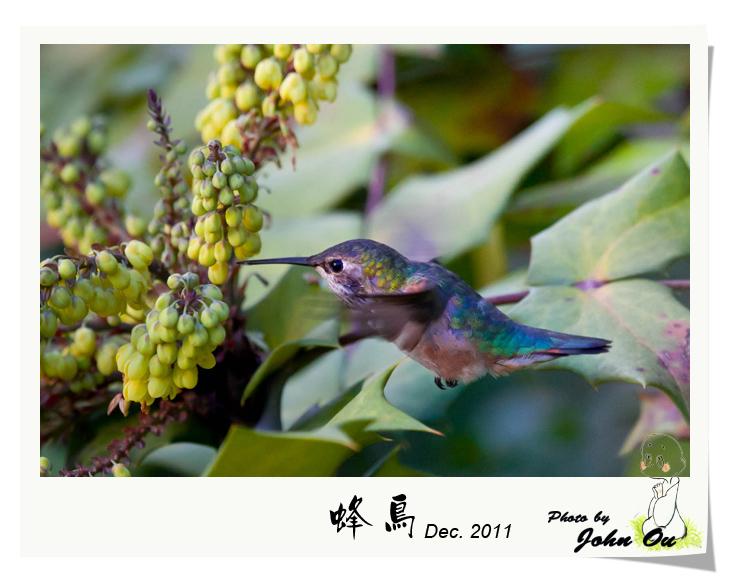 蜂鸟_图1-8