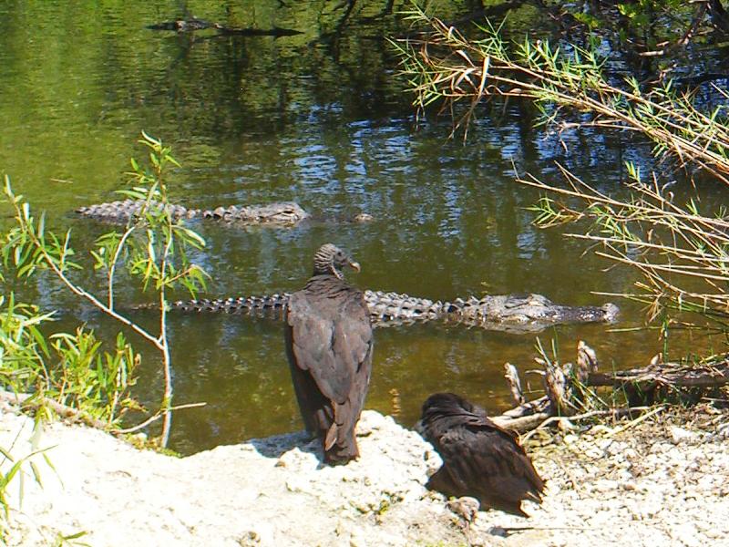 鳄——摄于大沼泽地国家公园_图1-1