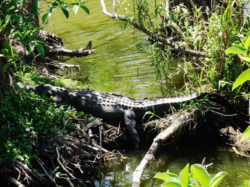 鳄——摄于大沼泽地国家公园_图1-4