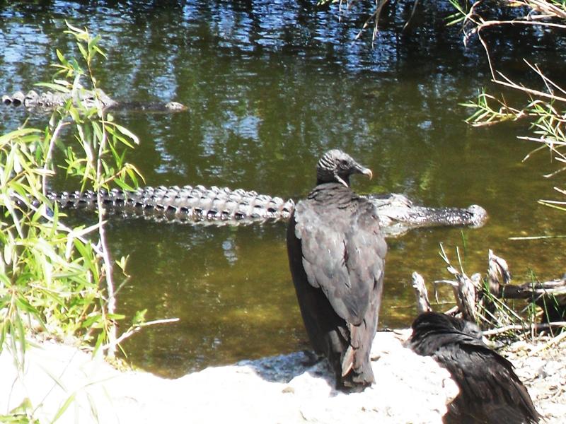 鳄——摄于大沼泽地国家公园_图1-2
