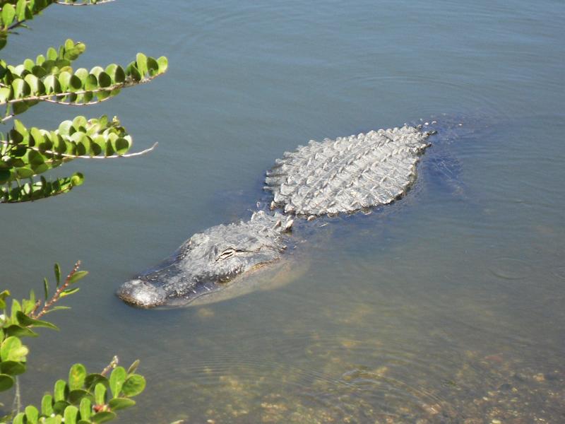 鳄——摄于大沼泽地国家公园_图1-5