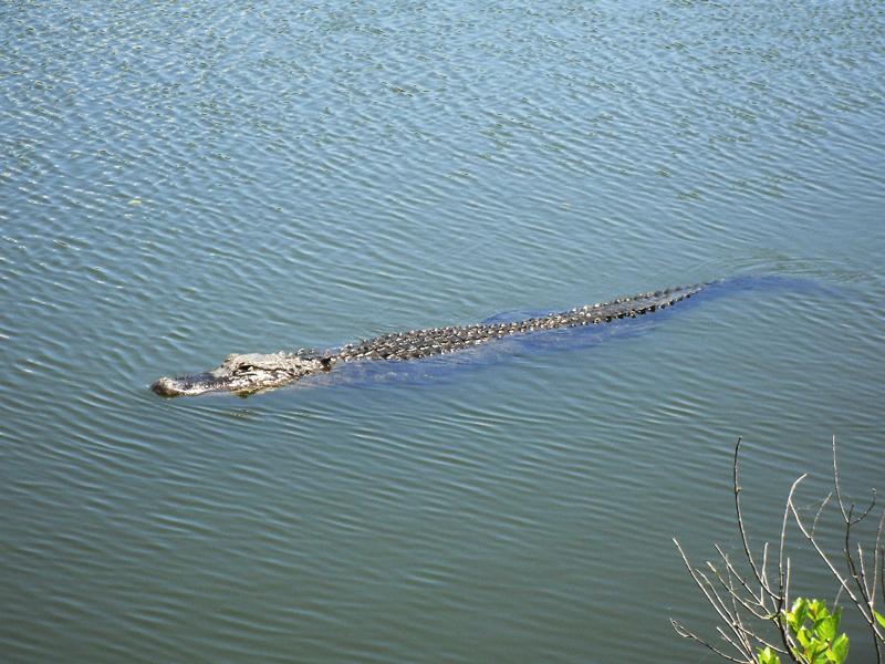 鳄——摄于大沼泽地国家公园_图1-6