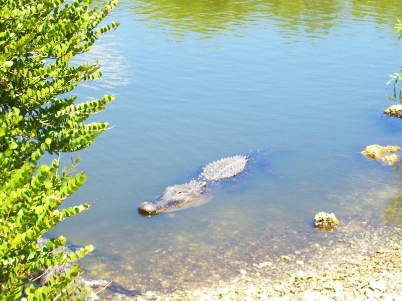 鳄——摄于大沼泽地国家公园_图1-9