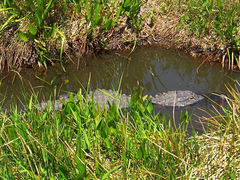 鳄——摄于大沼泽地国家公园_图1-7