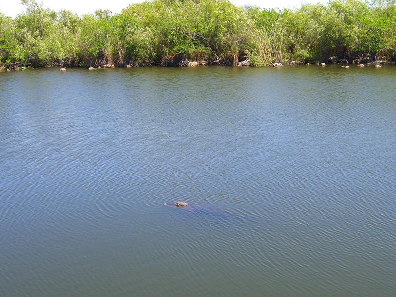 鳄——摄于大沼泽地国家公园_图1-11