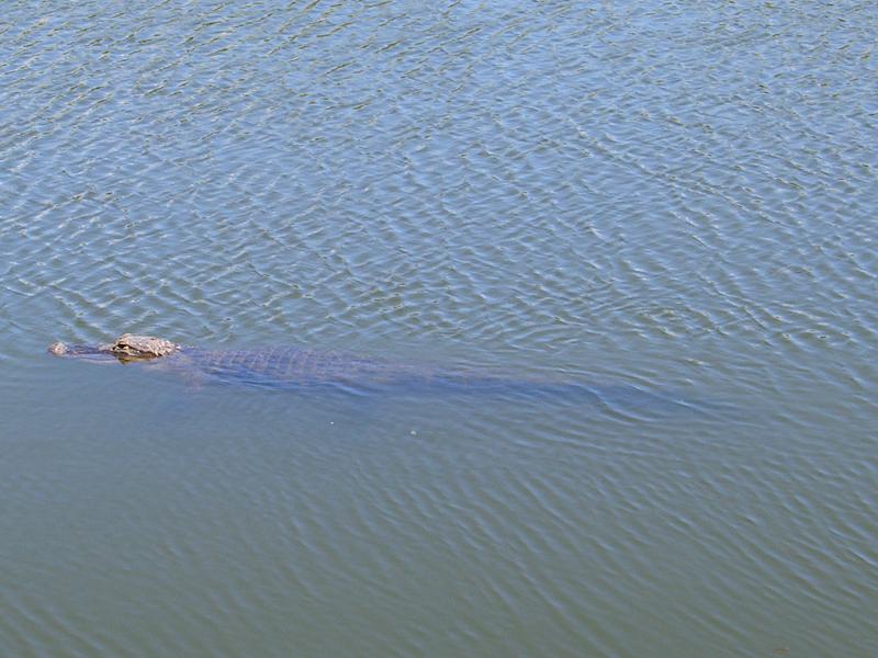 鳄——摄于大沼泽地国家公园_图1-10