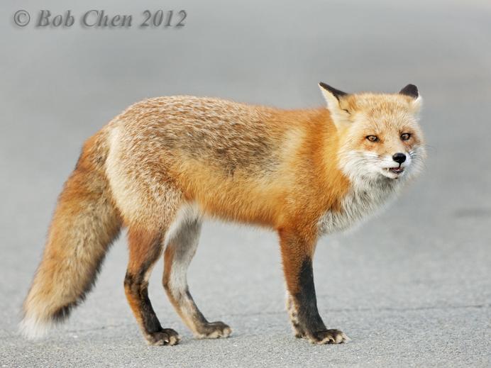 [摄影】红狐_图1-13