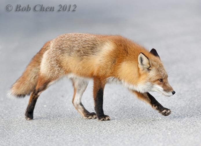 [摄影】红狐_图1-8