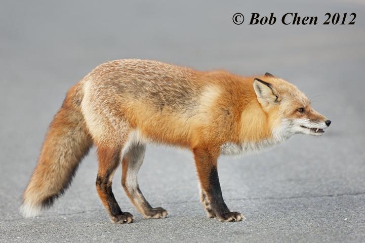 [摄影】红狐_图1-6