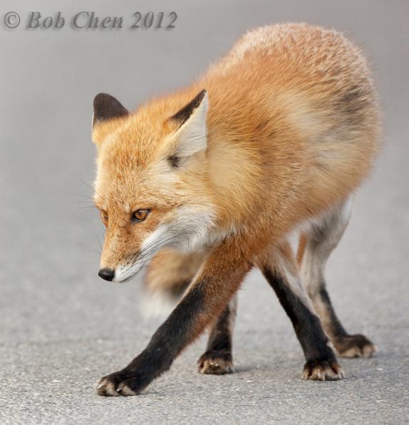 [摄影】红狐_图1-3