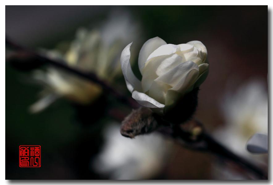 《原创摄影》: 星星白玉兰_图1-6