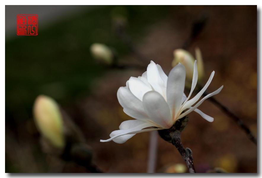 《原创摄影》: 星星白玉兰_图1-1