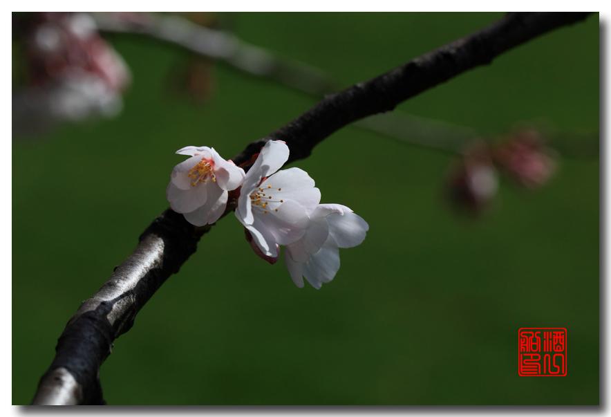 《原创摄影》: 樱花,樱花_图1-1