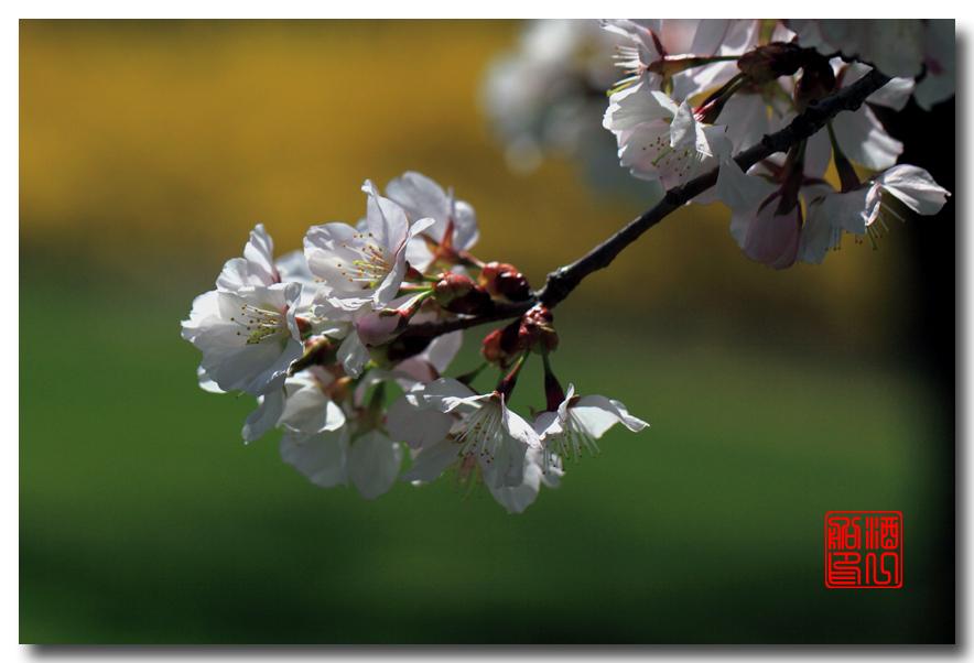 《原创摄影》: 樱花,樱花_图1-2