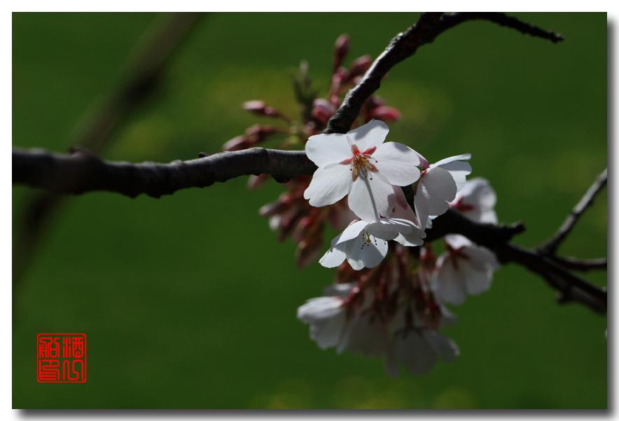 《原创摄影》: 樱花,樱花_图1-4