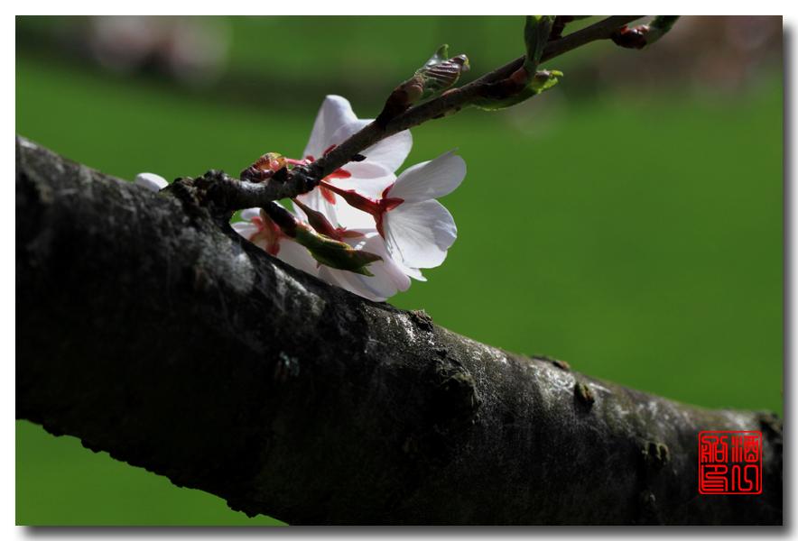 《原创摄影》: 樱花,樱花_图1-3