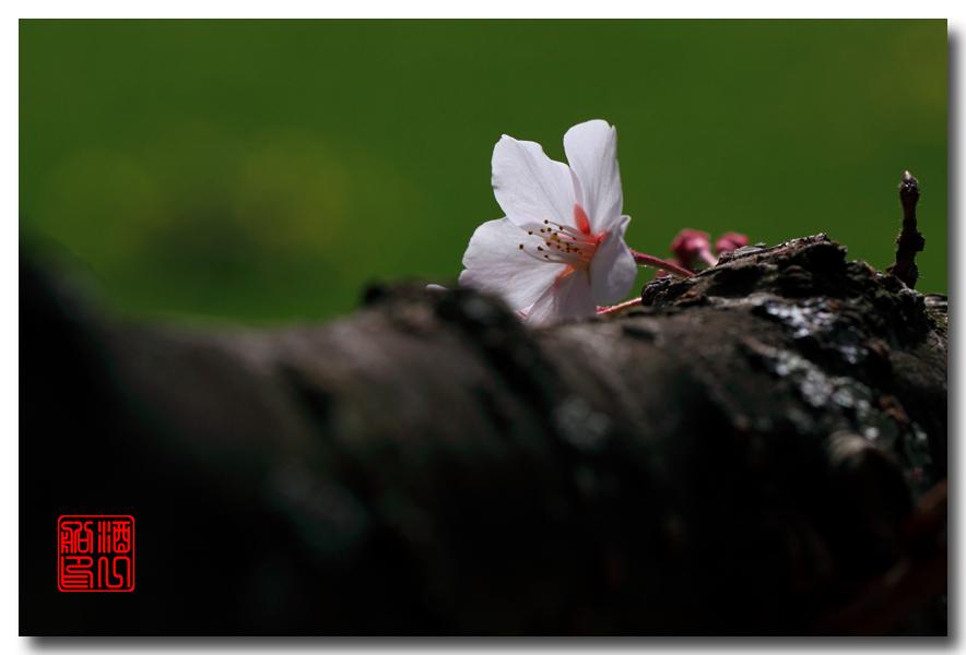 《原创摄影》: 樱花,樱花_图1-5