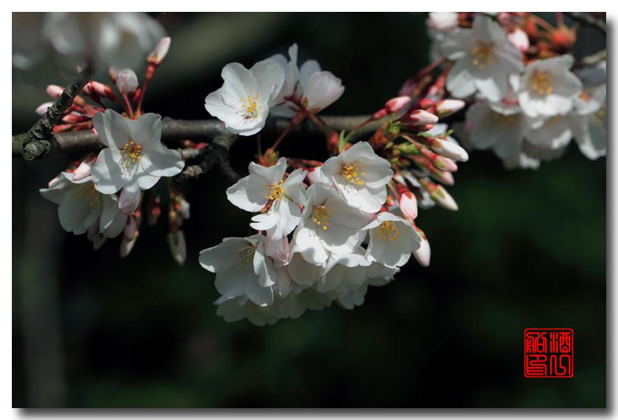 《原创摄影》: 樱花,樱花_图1-6