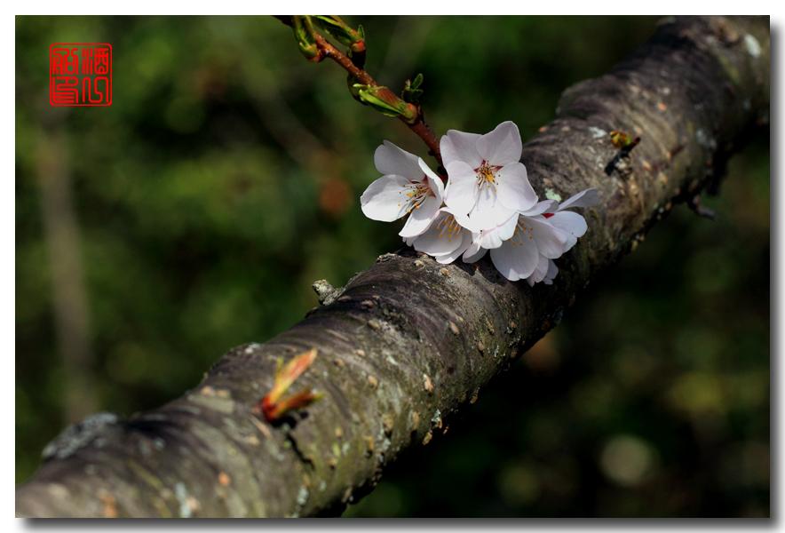 《原创摄影》: 樱花,樱花_图1-8