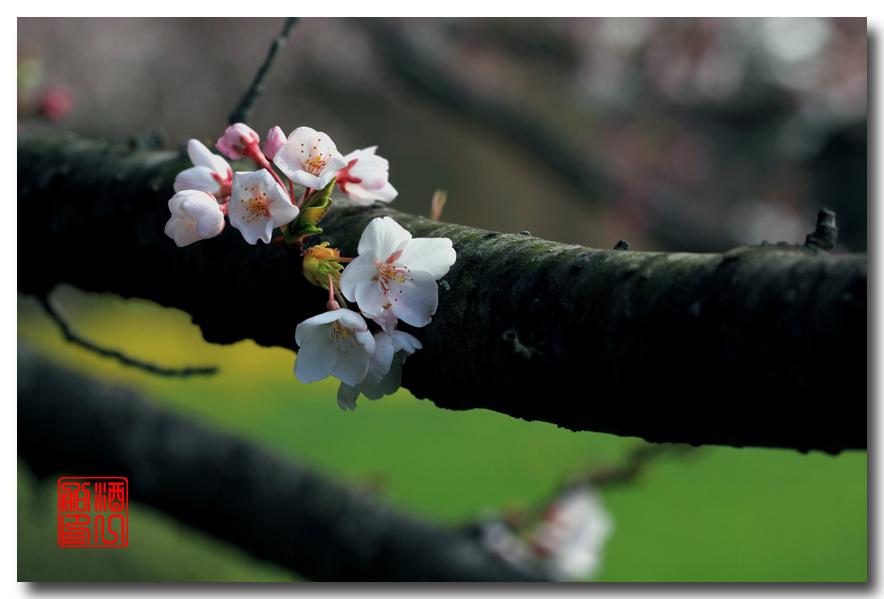 《原创摄影》: 樱花,樱花_图1-7