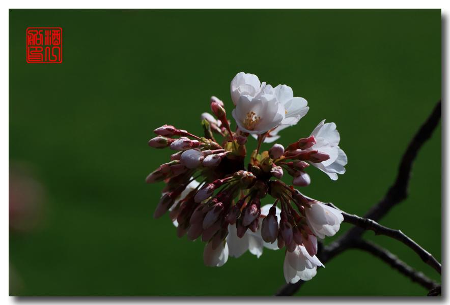 《原创摄影》: 樱花,樱花_图1-9