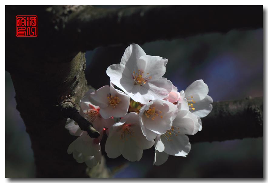 《原创摄影》: 樱花,樱花_图1-10