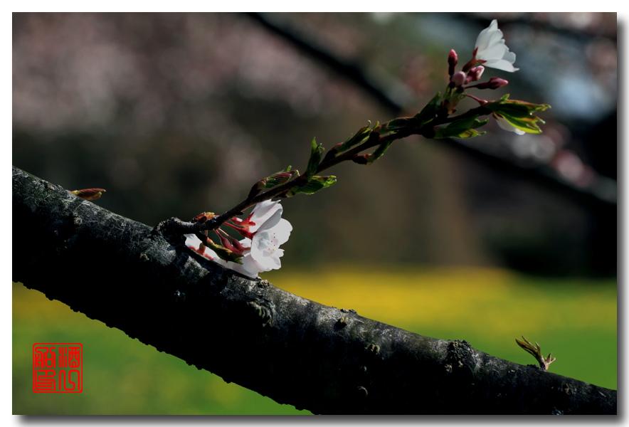 《原创摄影》: 樱花,樱花_图1-11