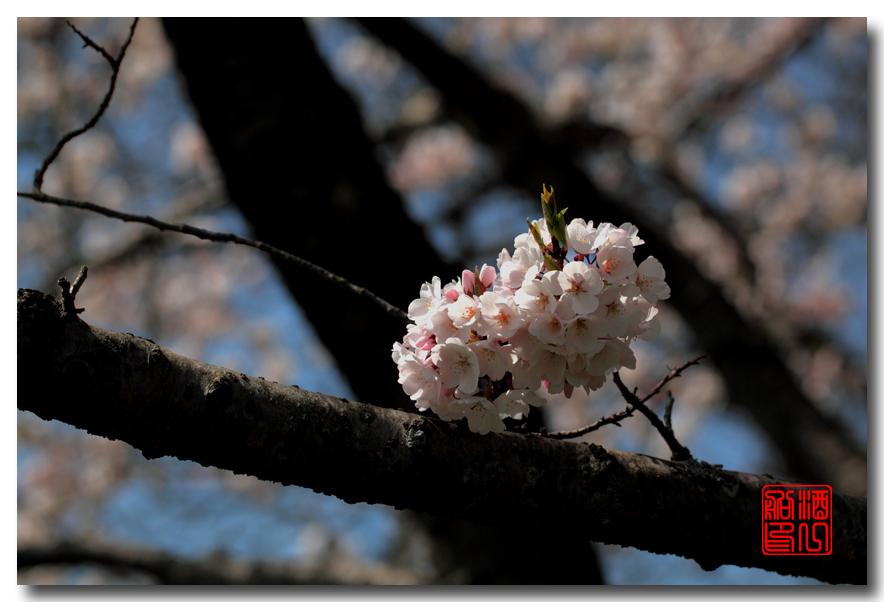 《原创摄影》: 樱花,樱花_图1-13
