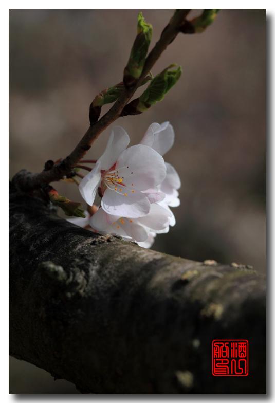 《原创摄影》: 樱花,樱花_图1-12
