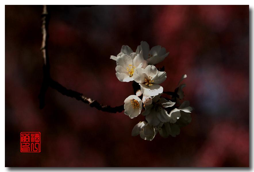 《原创摄影》: 樱花,樱花_图1-14