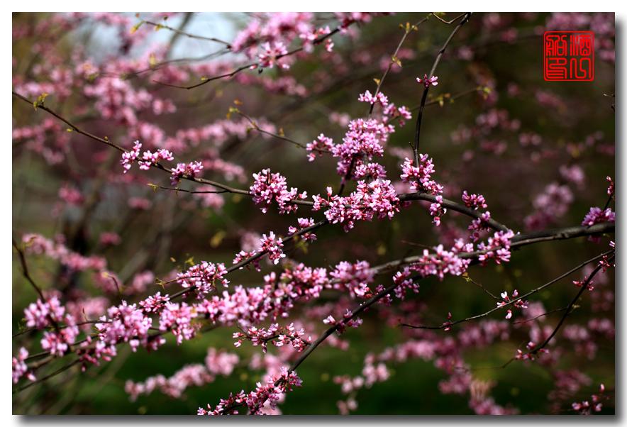 《原创摄影》:紫荆_图1-3