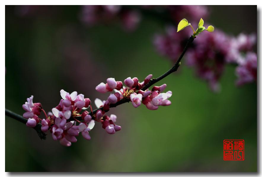 《原创摄影》:紫荆_图1-4
