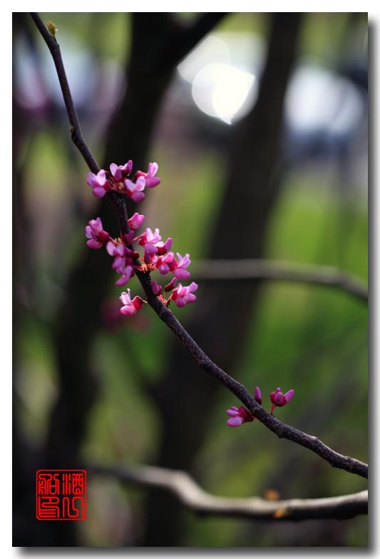 《原创摄影》:紫荆_图1-5