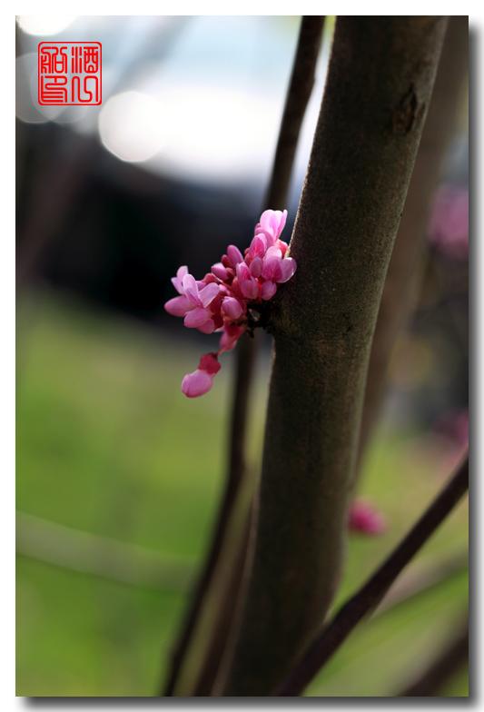 《原创摄影》:紫荆_图1-6