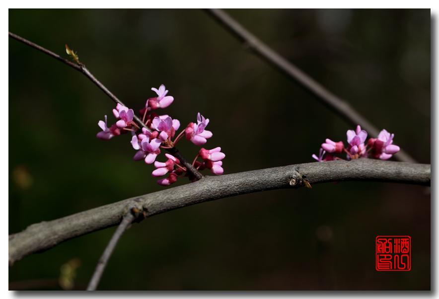 《原创摄影》:紫荆_图1-7