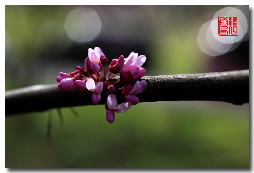 《原创摄影》:紫荆_图1-9