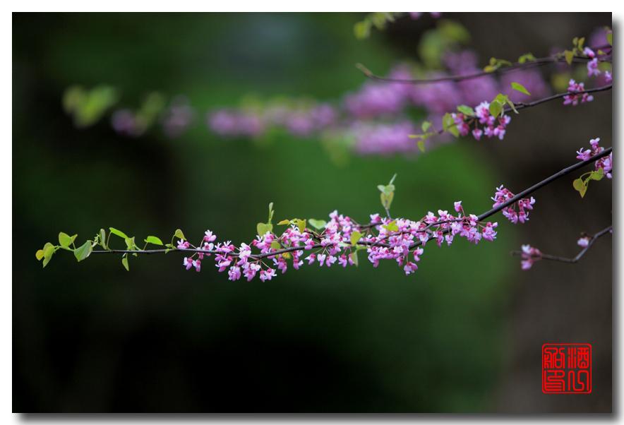 《原创摄影》:紫荆_图1-13