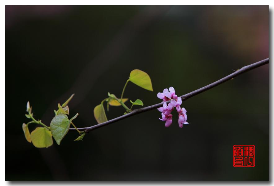 《原创摄影》:紫荆_图1-14