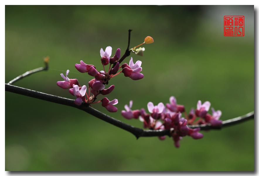 《原创摄影》:紫荆_图1-24
