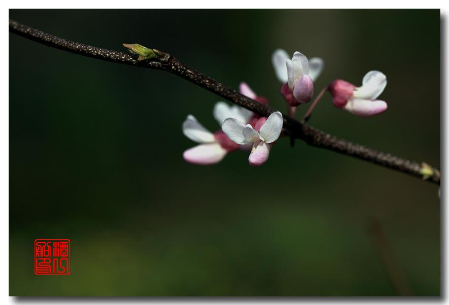 《原创摄影》:紫荆_图1-25
