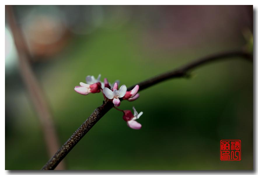 《原创摄影》:紫荆_图1-27