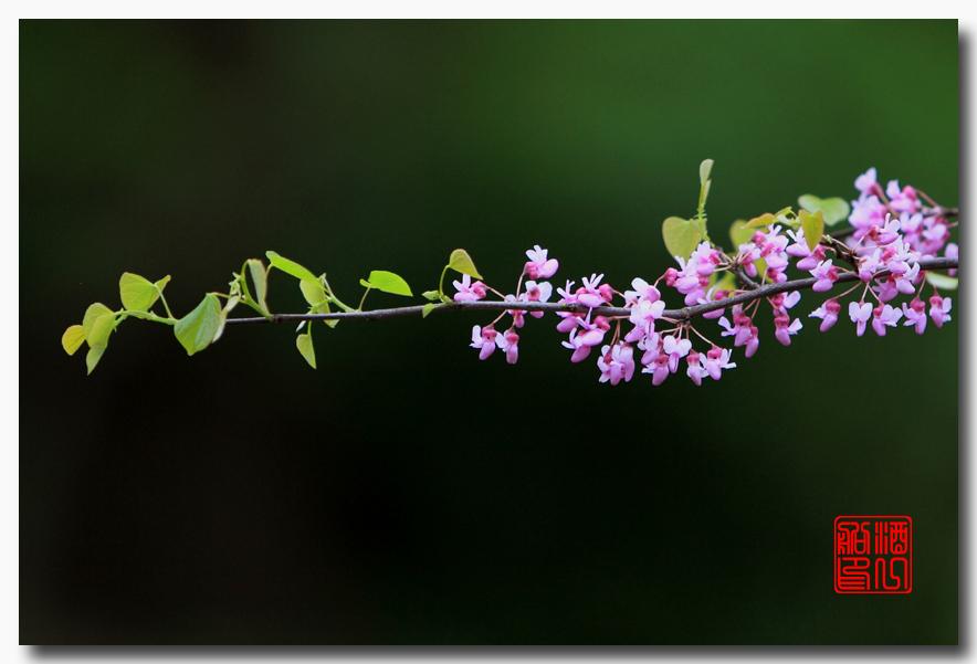 《原创摄影》:紫荆_图1-28