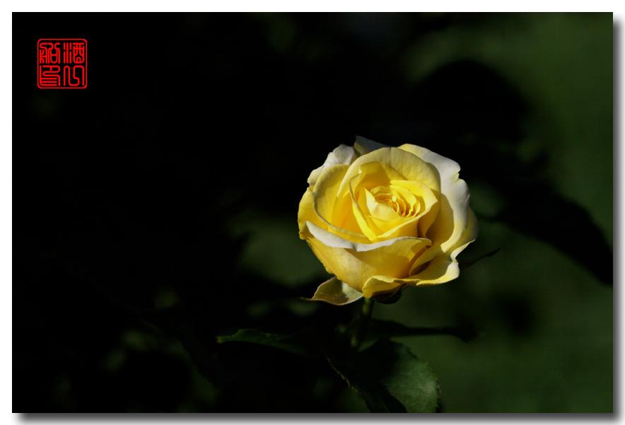 《原创摄影》:娇羞玫瑰满园香_图1-3