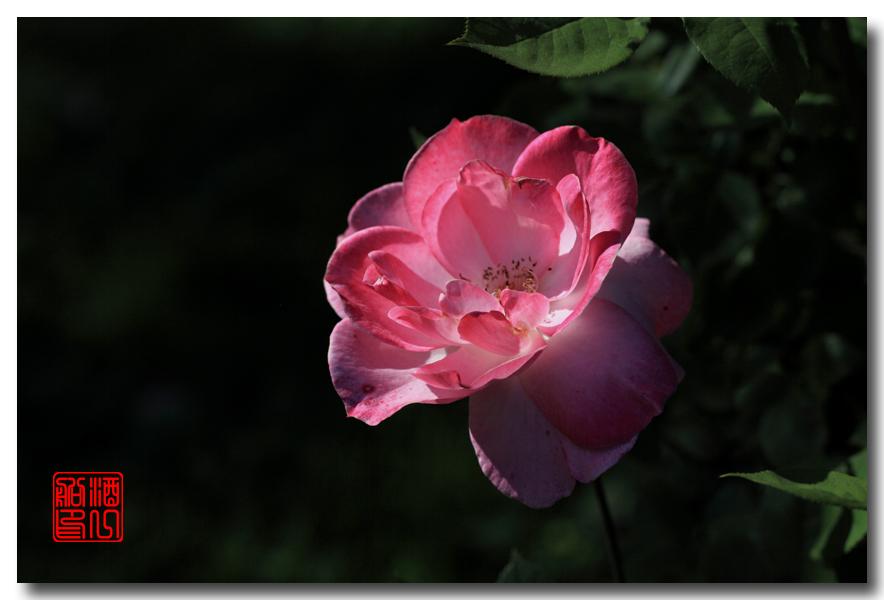 《原创摄影》:娇羞玫瑰满园香_图1-1
