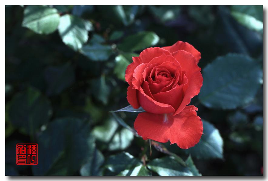 《原创摄影》:娇羞玫瑰满园香_图1-4