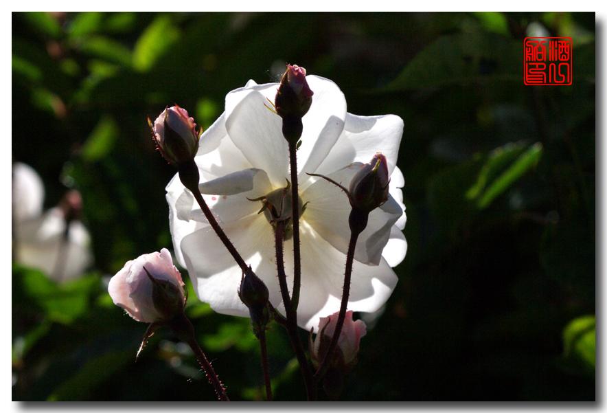 《原创摄影》:娇羞玫瑰满园香_图1-5